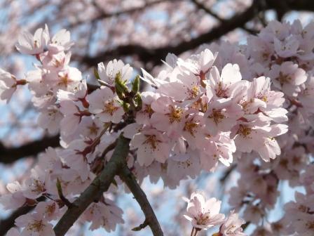古田のしだれ桜 10