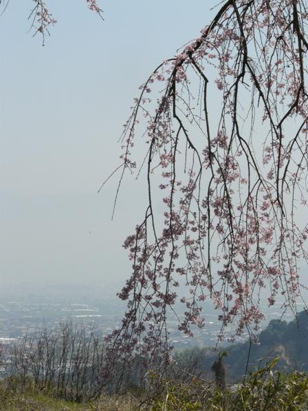 古田のしだれ桜 6