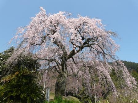 古田のしだれ桜 2