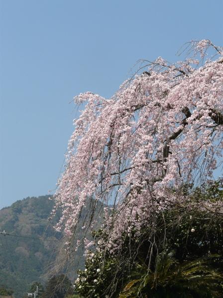 古田のしだれ桜 7