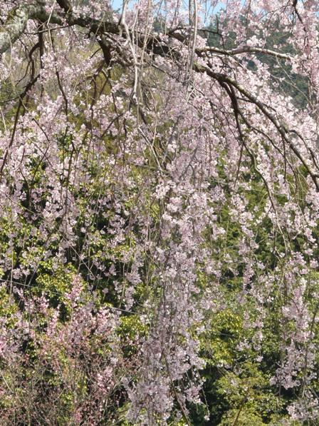 古田のしだれ桜 8