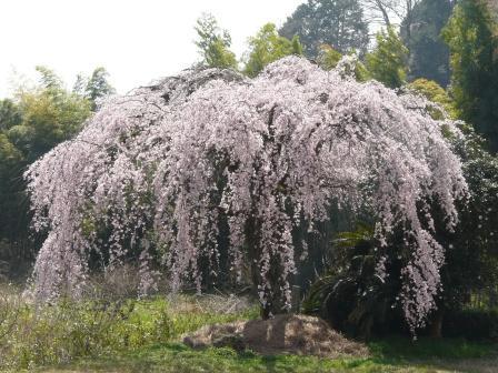 古田のしだれ桜 3