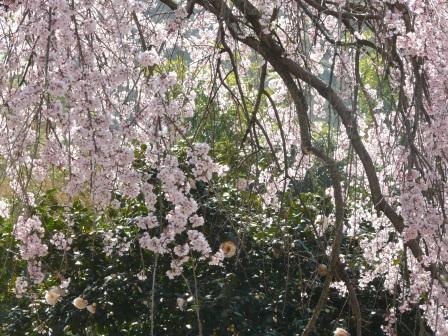 古田のしだれ桜 9