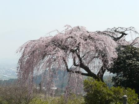 古田のしだれ桜 5