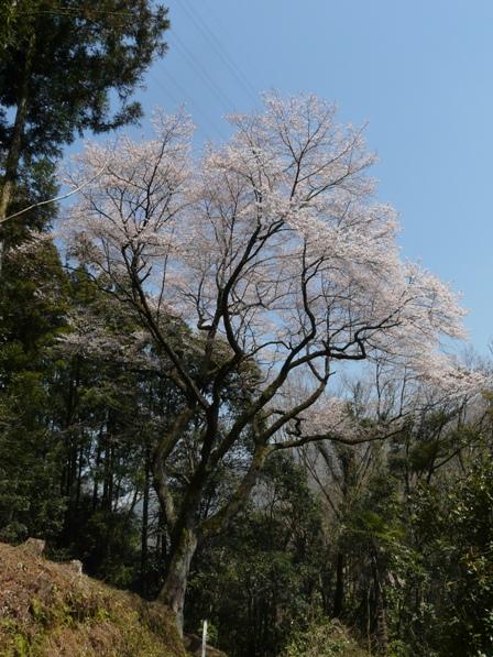 源太桜 4