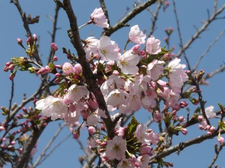 三ヶ村泉 しだれ桜 5