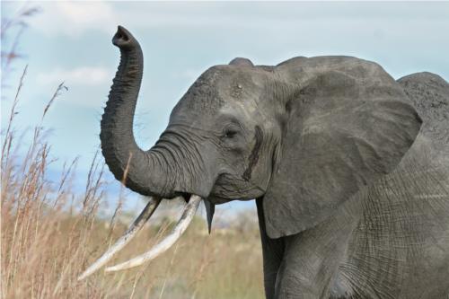 動物で最も妊娠期間の長い動物はゾウ