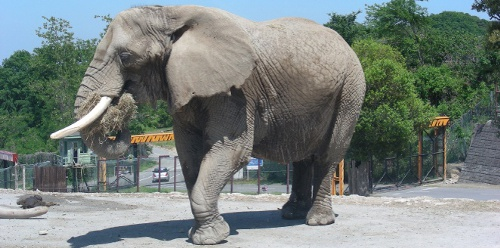 ゾウの耳が大きい理由