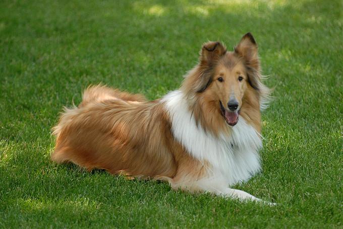 名犬ラッシーって何犬?