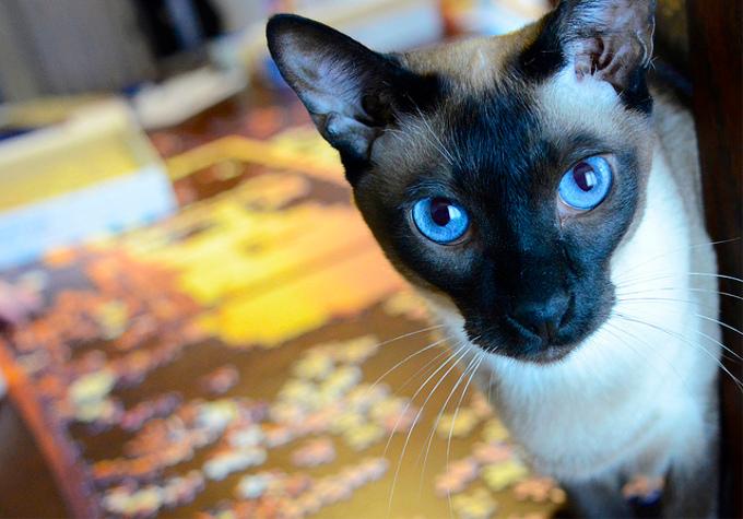 シャム猫の名前の由来