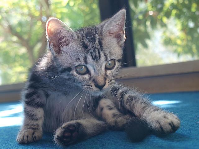 日本で一番人気がある猫の種類って何?(2014)