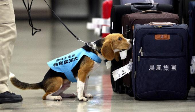 「検疫探知犬」として空港で大活躍している犬種とは?