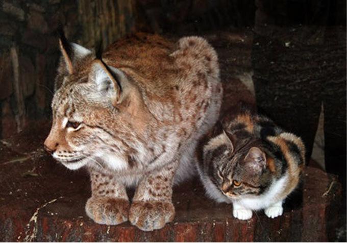 動物園のヤマネコと野良猫の恋が話題に