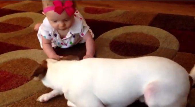 赤ちゃんにハイハイを教える犬が話題に