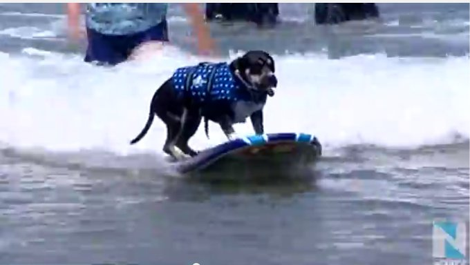 犬限定のサーフィン教室が開催された!?(アメリカ)
