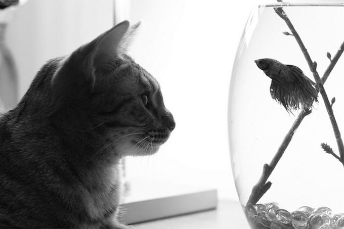 アビシニアン、シャム猫、アメリカンショートヘアを交配して生まれた猫