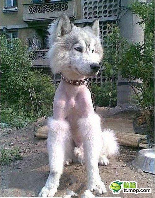 ハスキー犬の毛を剃ったらすごいことに・・・