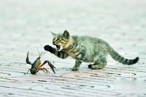 猫vsザリガニ!ザリガニが大ピンチ