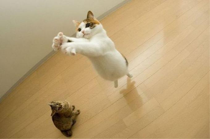 猫ってどれくらい高く跳べるの?