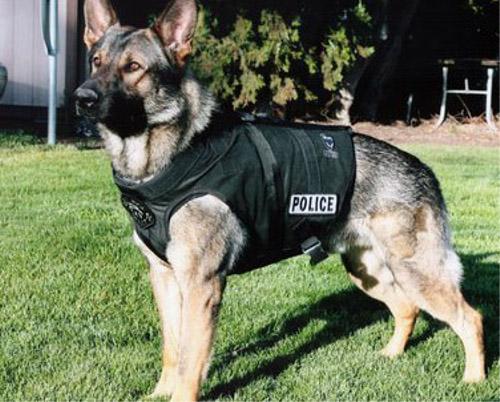 警察犬に防弾チョッキ!?(アメリカ)