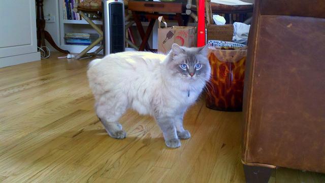 尻尾がない猫の品種(マンクスとキムリック)