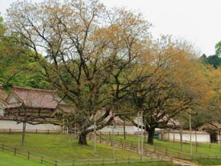 旧閑谷学校櫂の木