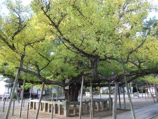 逆木の公孫樹