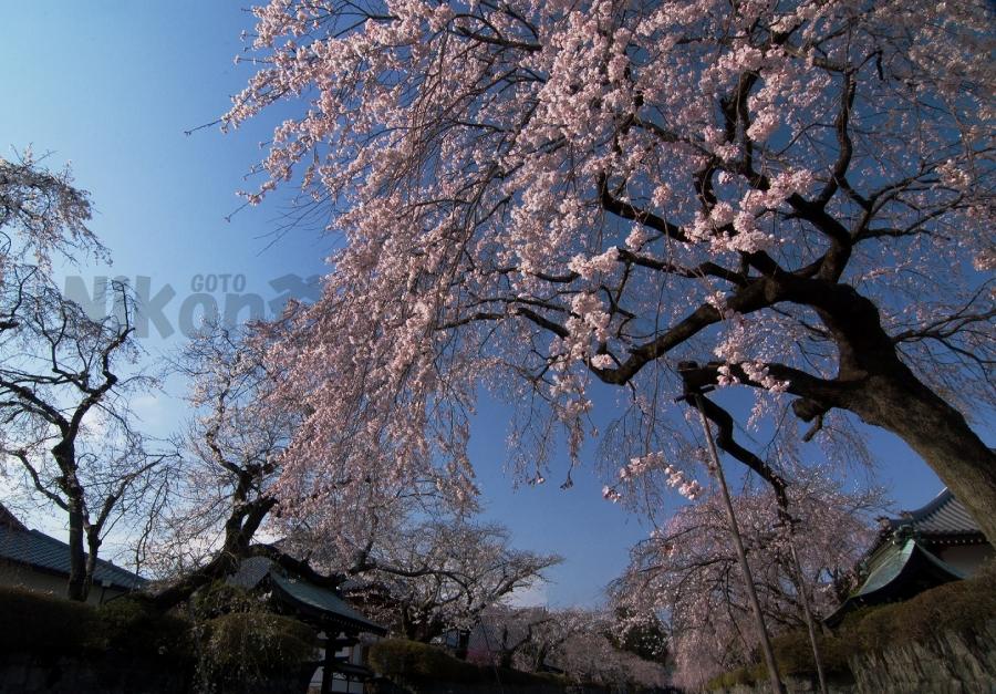 2013 03 24 R 大石寺 (10)JSS