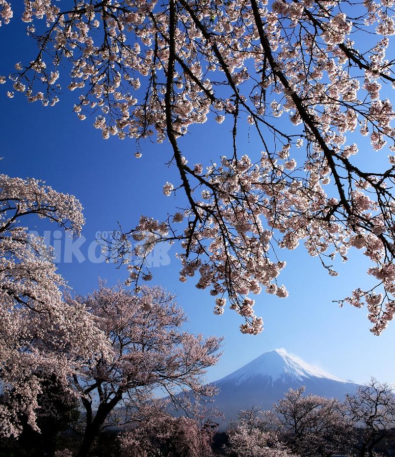 2014 04 05 興徳寺 D3x (58) R@S