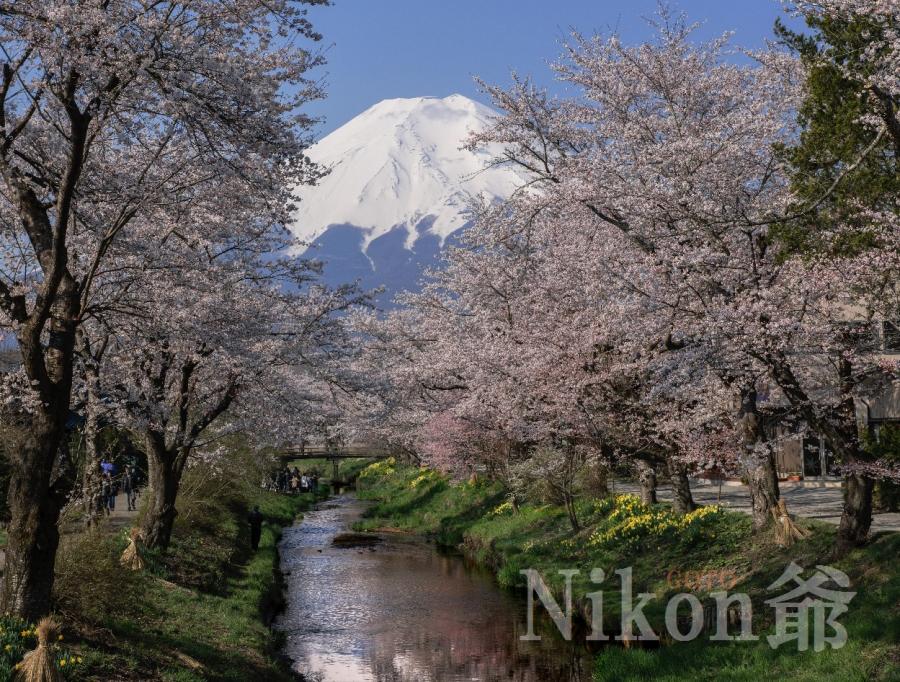 2014 04 26 忍野桜 D3x (47)R@S