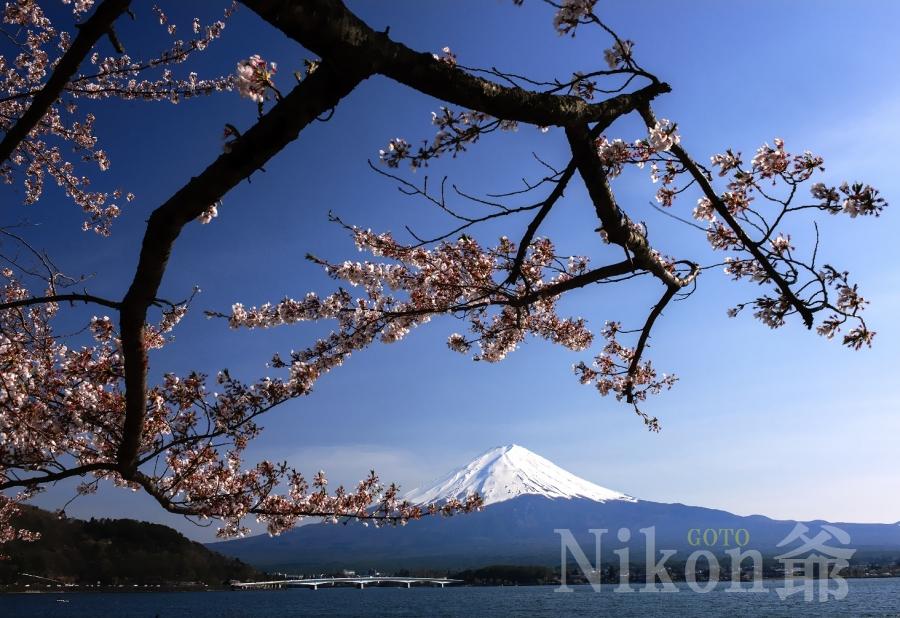 2014 04 27 河口湖 桜 D3x (46)R@S