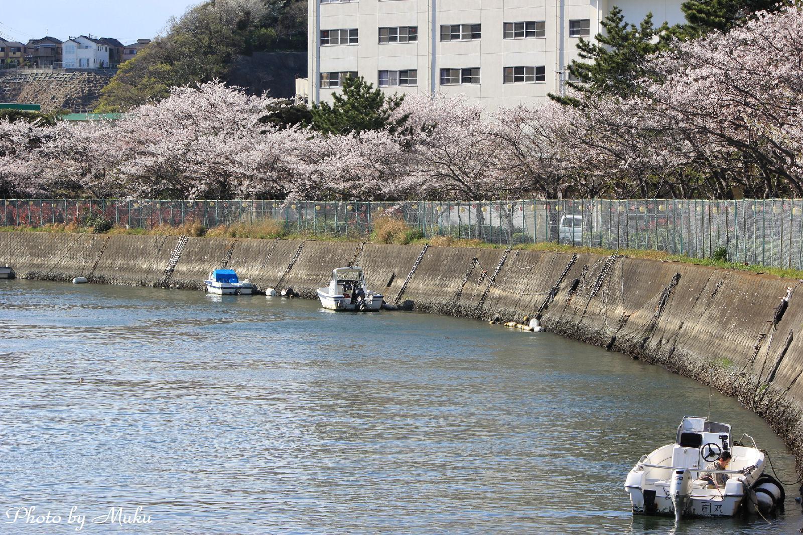 2014.4.5 陸上自衛隊久里浜駐屯地の桜_02