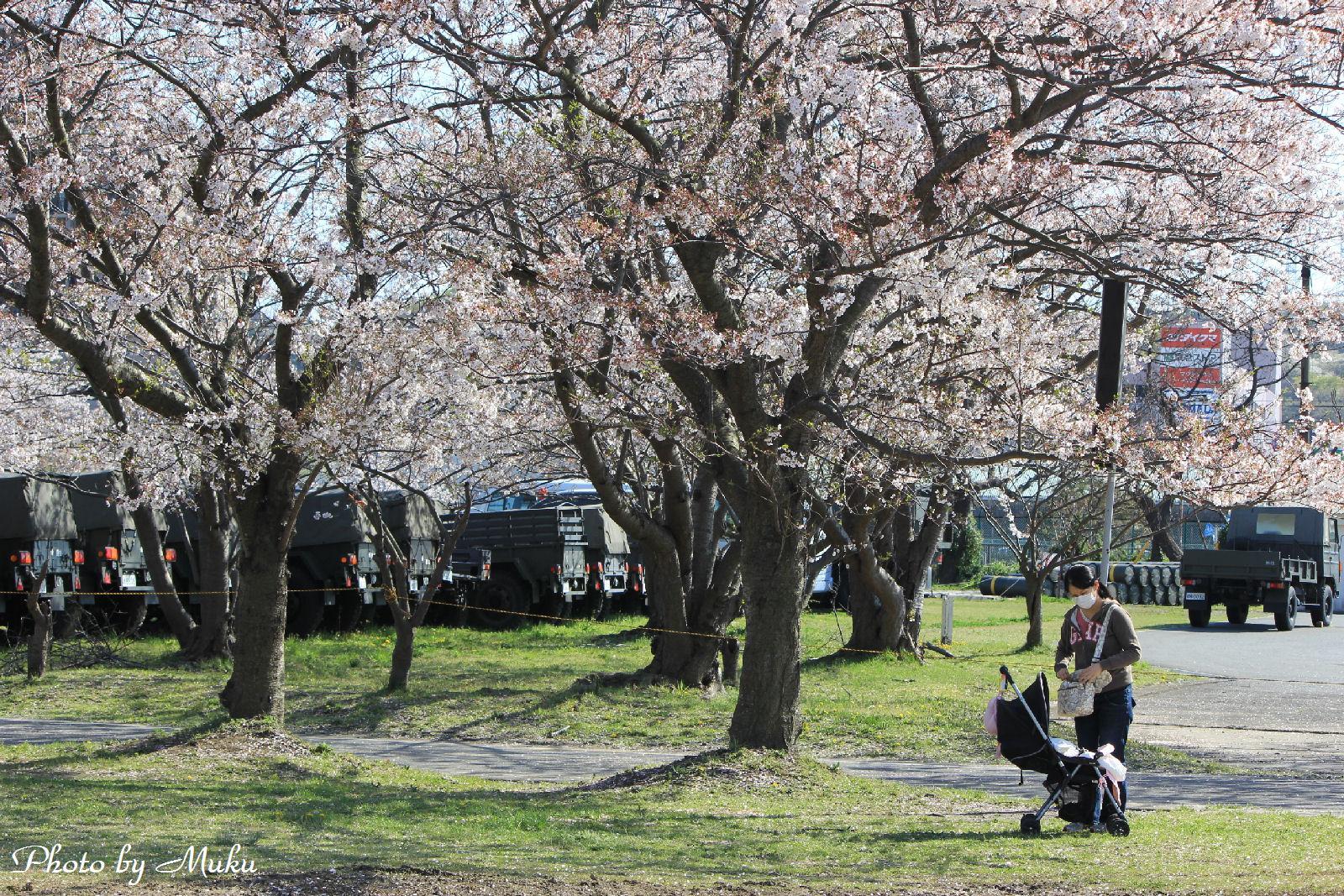 2014.4.5 陸上自衛隊駐屯地内の桜:久里浜(神奈川県横須賀市)
