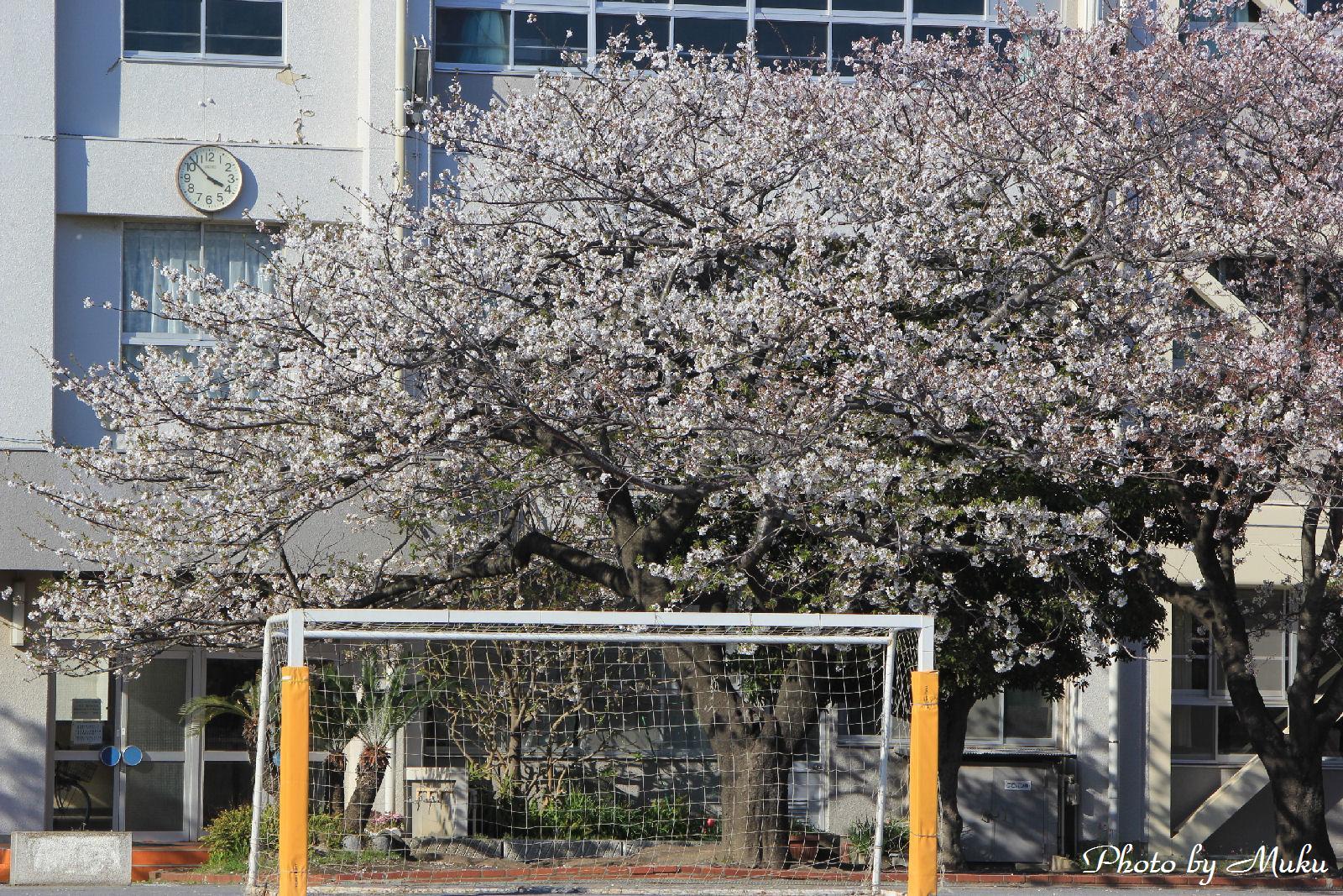 2014.4.5 小学校の桜:久里浜(神奈川県横須賀市)