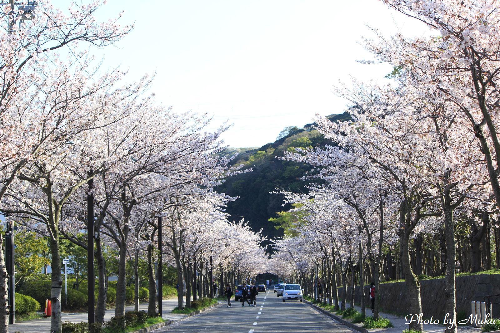 2014.4.5 くりはま花の国前の桜並木:久里浜(神奈川県横須賀市)