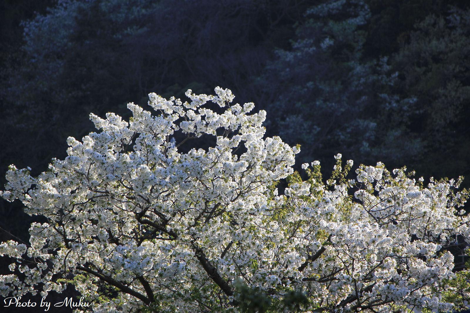 2014.4.5 山桜:散歩道(神奈川県横須賀市)