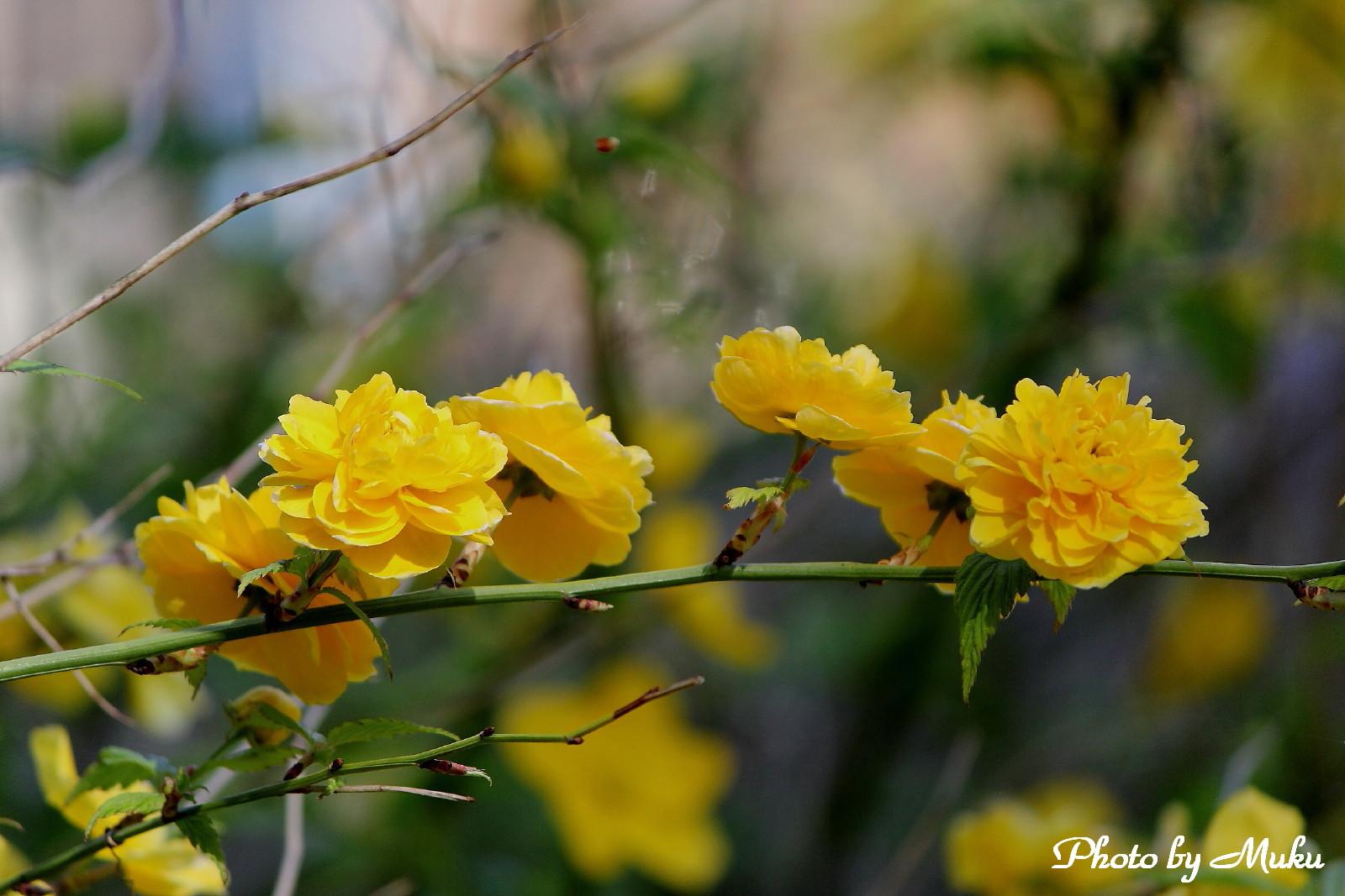2014.4.15 八重咲きのヤマブキ(散歩道:神奈川県横須賀市)