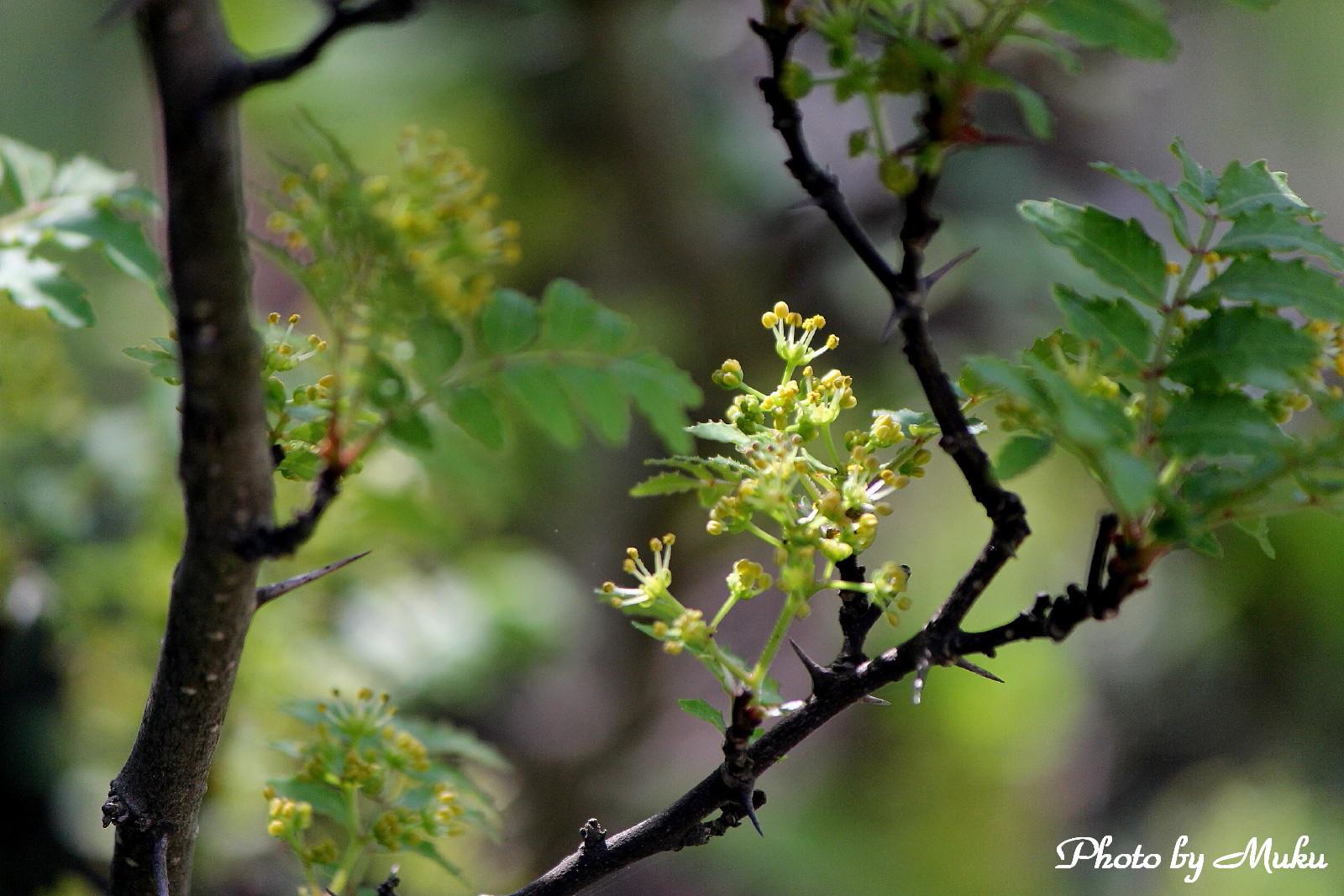 2014.4.15 山椒の花(散歩道:神奈川県横須賀市)
