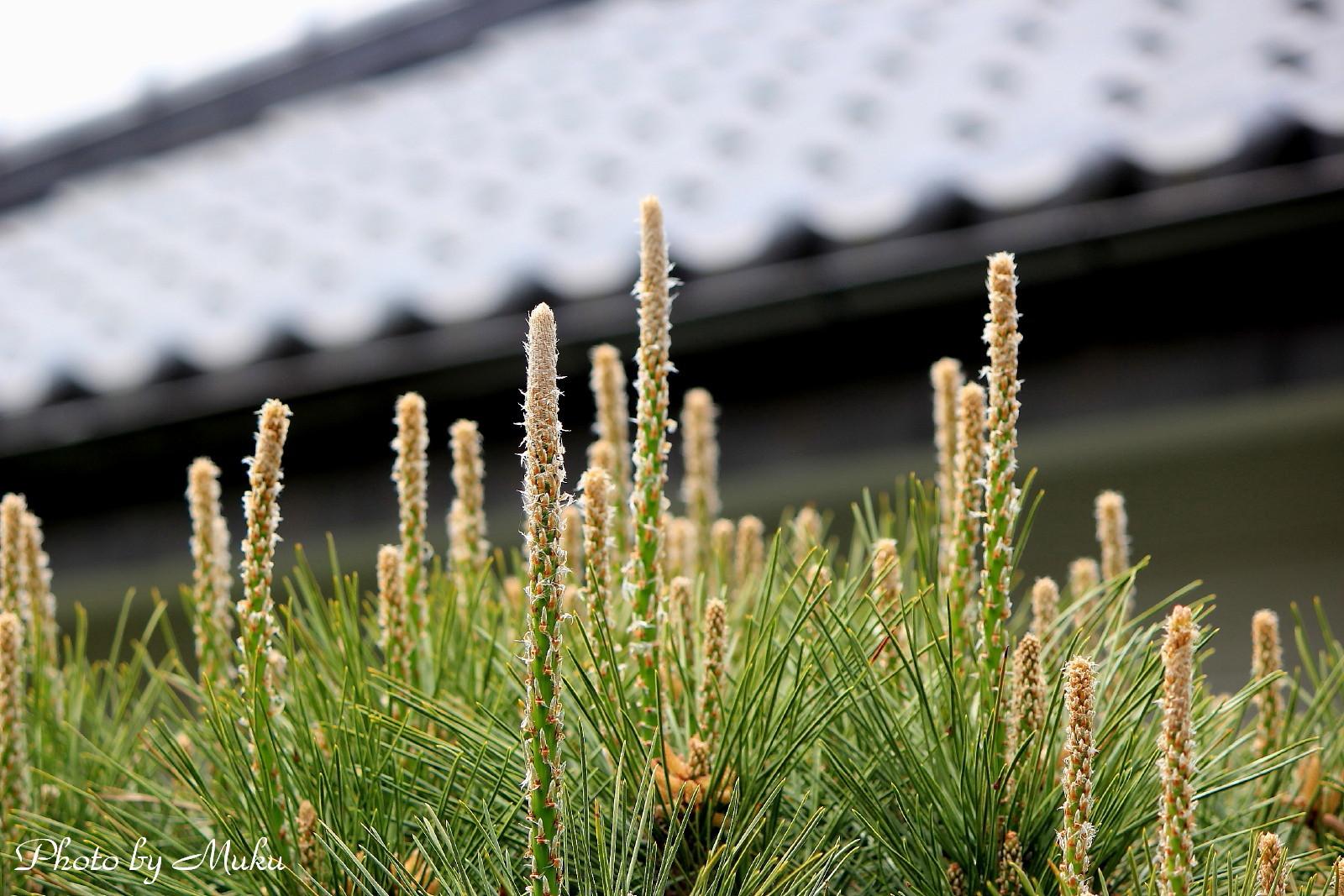 2014.4.16 松の花(散歩道:神奈川県横須賀市)