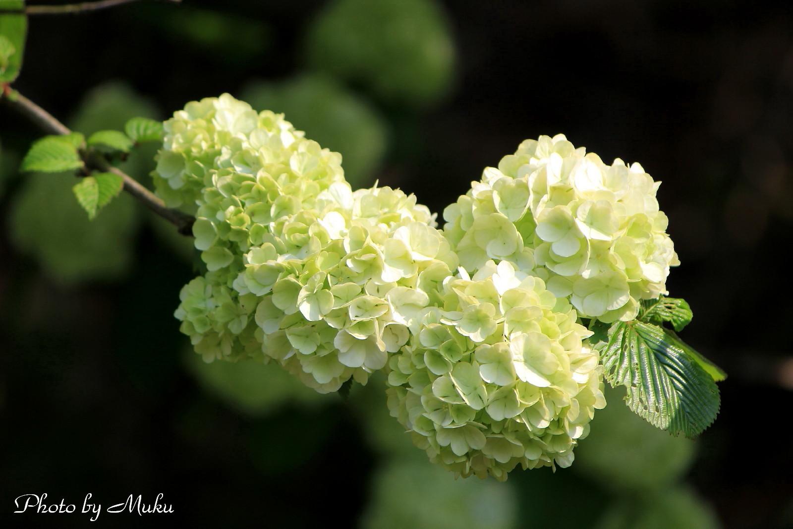 2014.4.23 オオデマリ(横須賀しょうぶ園:神奈川県横須賀市)