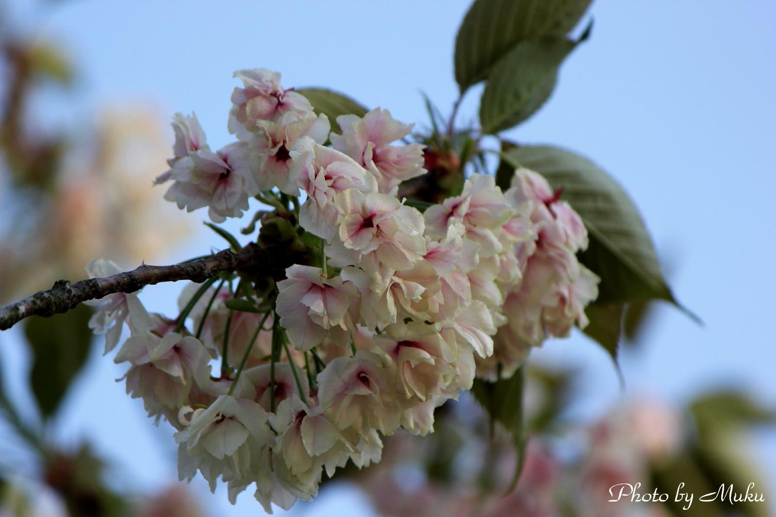 2014.4.23 ウコンザクラ(横須賀しょうぶ園:神奈川県横須賀市)