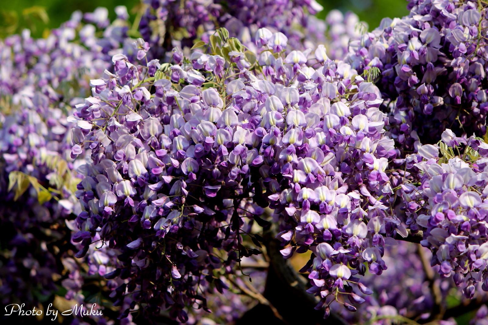 2014.4.23 藤の花(横須賀しょうぶ園:神奈川県横須賀市)