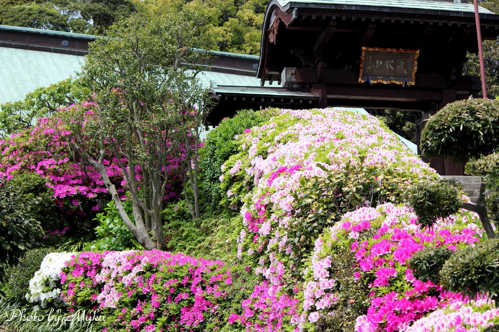 2014/04/28_ツツジ(散歩道:神奈川県横須賀市)
