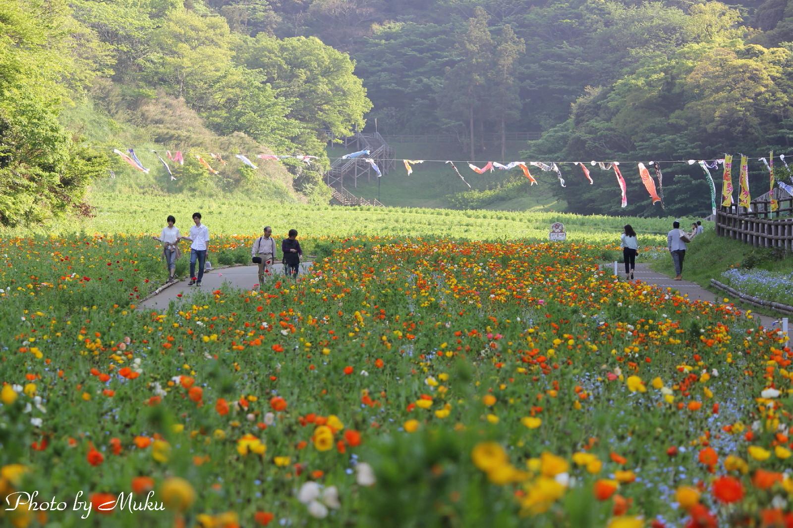 2014/05/01_ポピー園(くりはま花の園:神奈川県横須賀市)