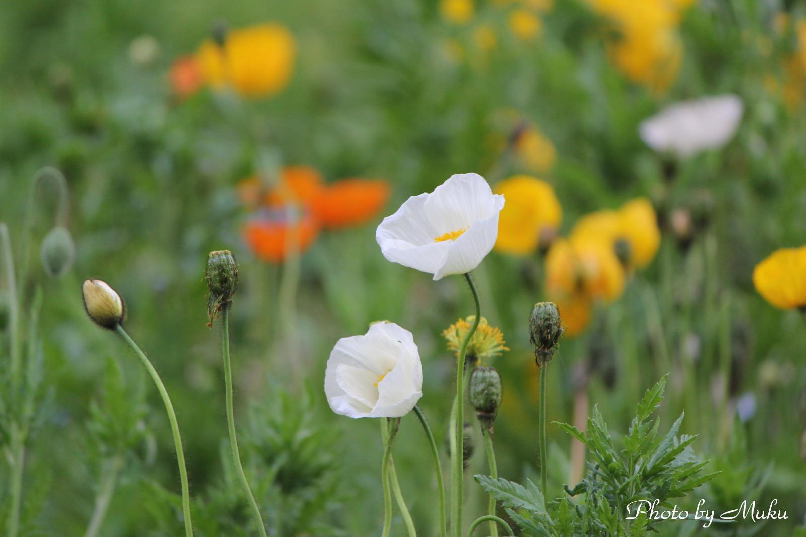 2014/05/01_ポピー(くりはま花の園:神奈川県横須賀市)