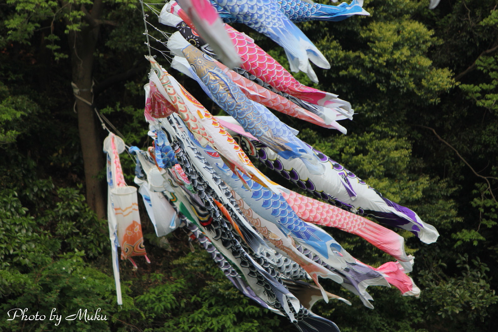 2014/05/01_鯉のぼり(くりはま花の園:神奈川県横須賀市)