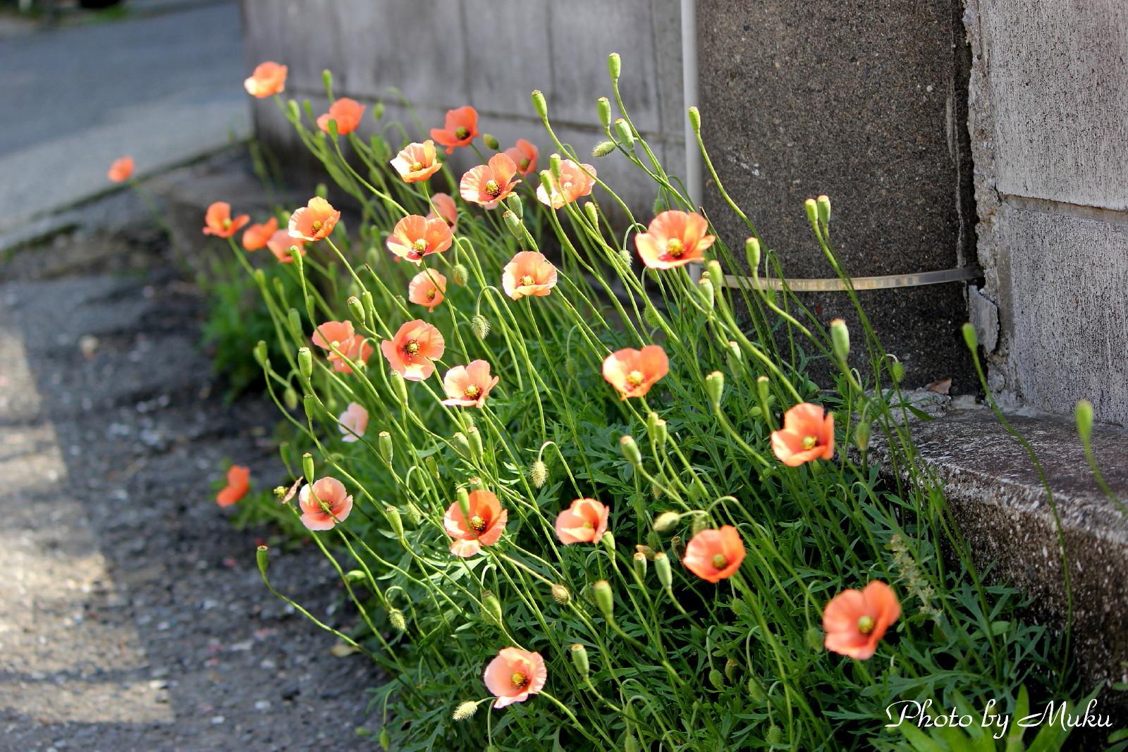 2014/05/02 ナガミケシ (散歩道:神奈川県横須賀市)