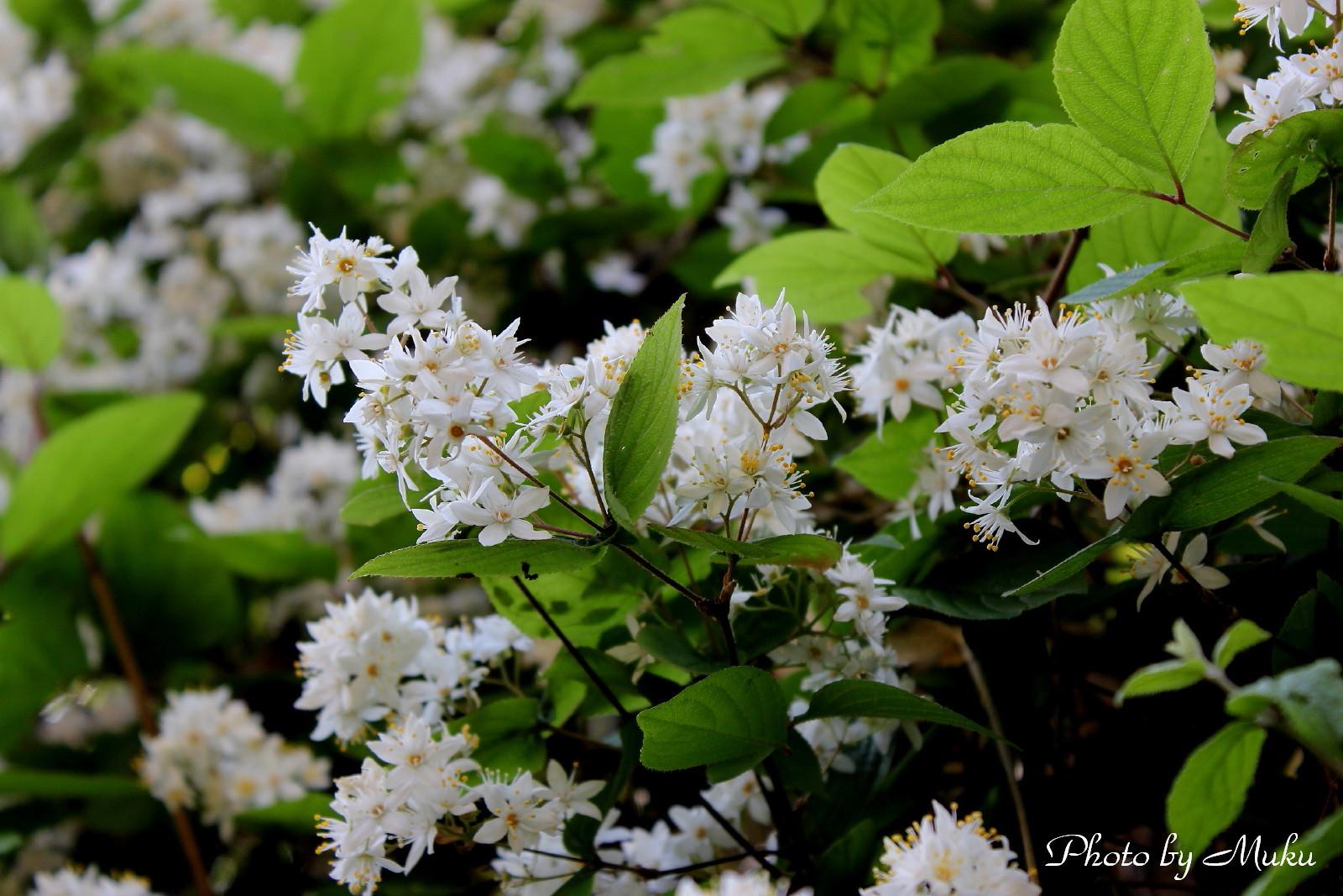 2014/05/02 卯の花 (散歩道:神奈川県横須賀市)