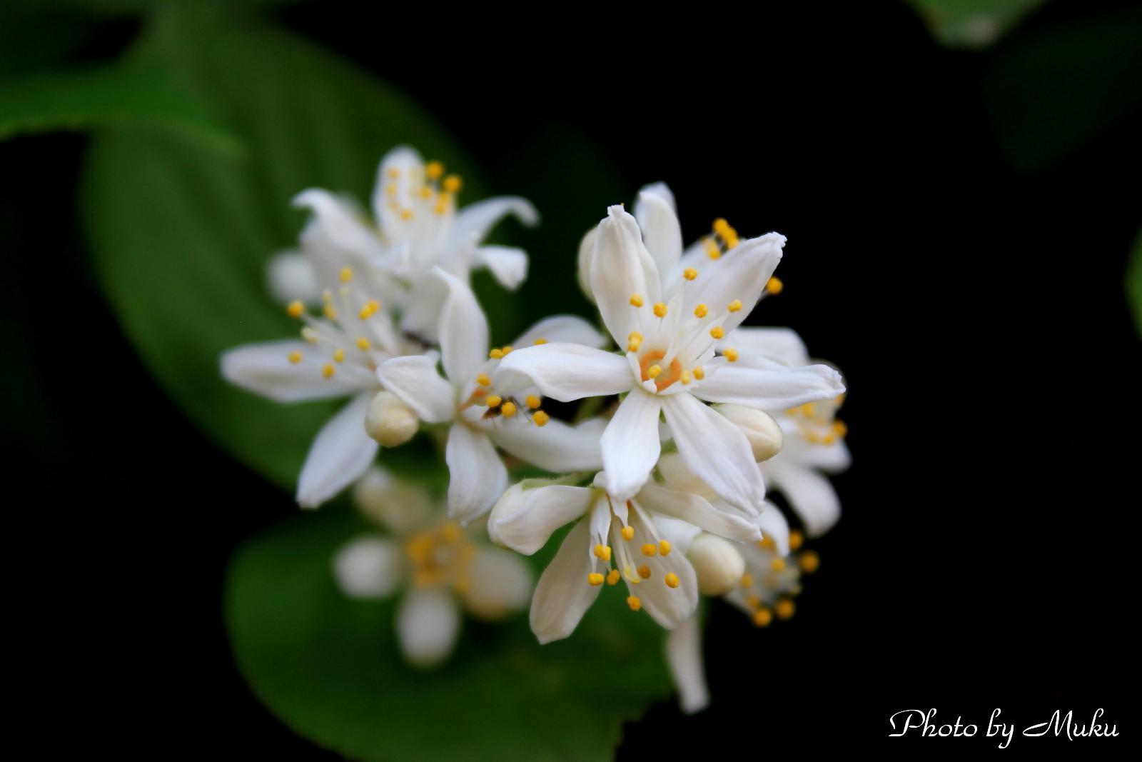 2014/05/02 六弁の卯の花(散歩道:神奈川県横須賀市)
