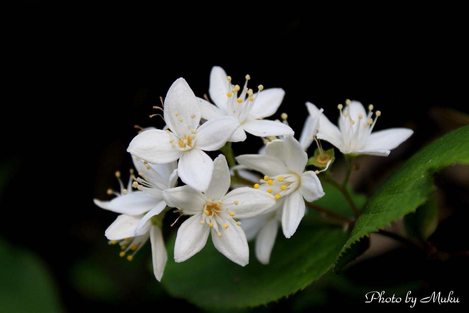 2014/05/02 四弁の卯の花(散歩道:神奈川県横須賀市)